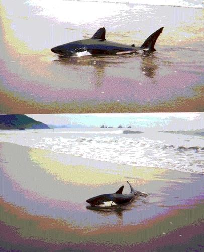 サーモン 鮫, サメ