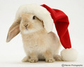 Santa Bunny - bunny-rabbits photo