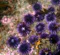 Sea Urchin - sea-life photo