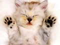 cats - Sleepy Kitten wallpaper