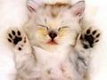 cats - Sleepy Kitten wallpaper