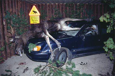 Slow Moose