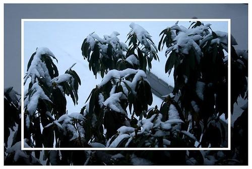 Snow on the rhodie