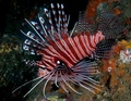 Spotfin Lionfish - sea-life photo