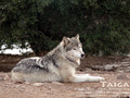 Taiga - wolves photo