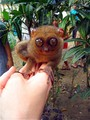 Tarsier - the-philippines photo