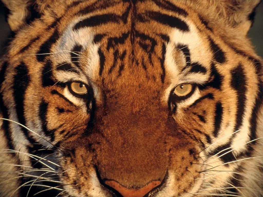 Image result for tiger image