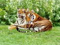 Tigers - tigers photo