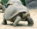 Tortoise-Galapogus - turtles photo