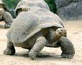 Tortoise-Galapogus