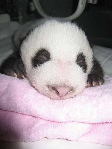 Very small panda