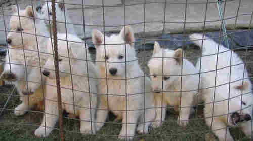 White Alsatian Pups