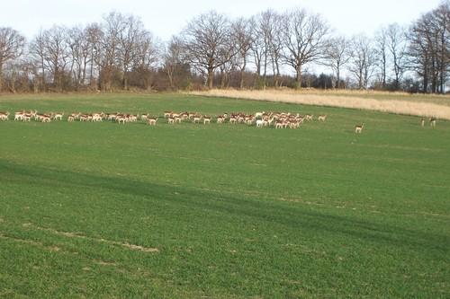 Wild Deer Herd