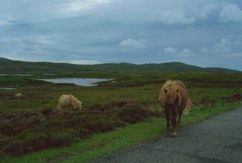Wild Hebredian Pony's
