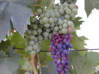 Wine karatasi la kupamba ukuta titled Wine Vineyards and Grapes