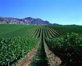 Wine Vineyards and Grapes
