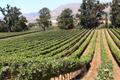 Wine Vineyards and Grapes - wine photo