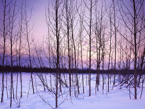 Winter Trees - winter Wallpaper