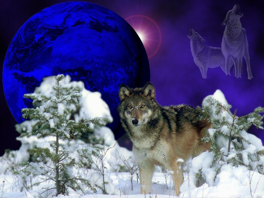 Wolves winter wolf