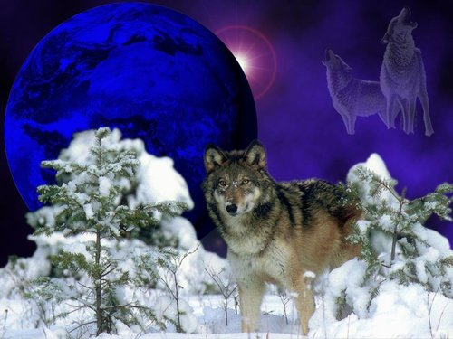 Winter serigala, wolf