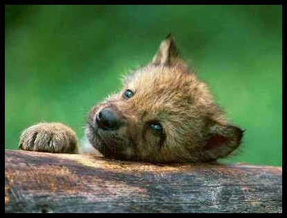 भेड़िया Cub