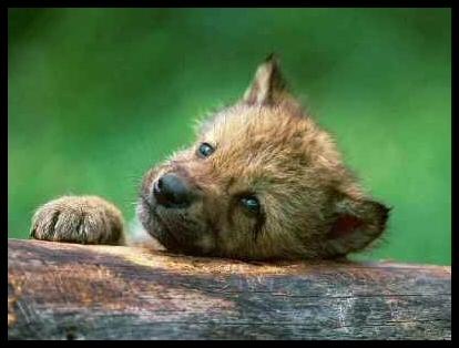 بھیڑیا Cub