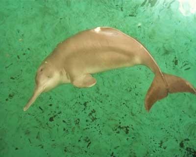 Yangtze river дельфин
