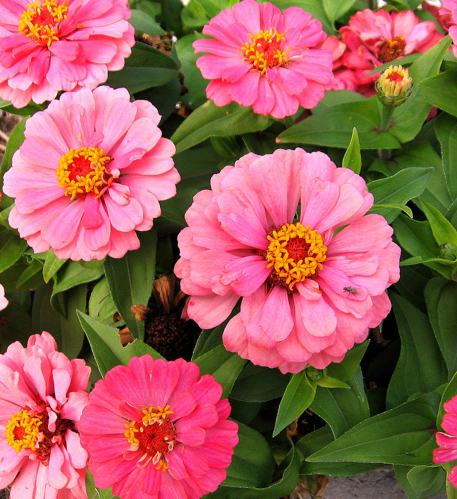 Profusion Zinnia Flowers