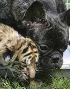 tiger cub & dog