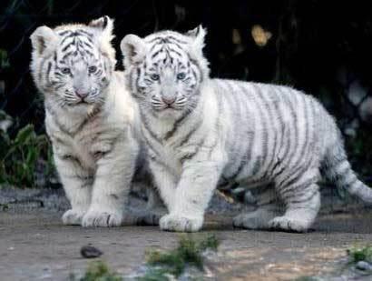 baby 虎