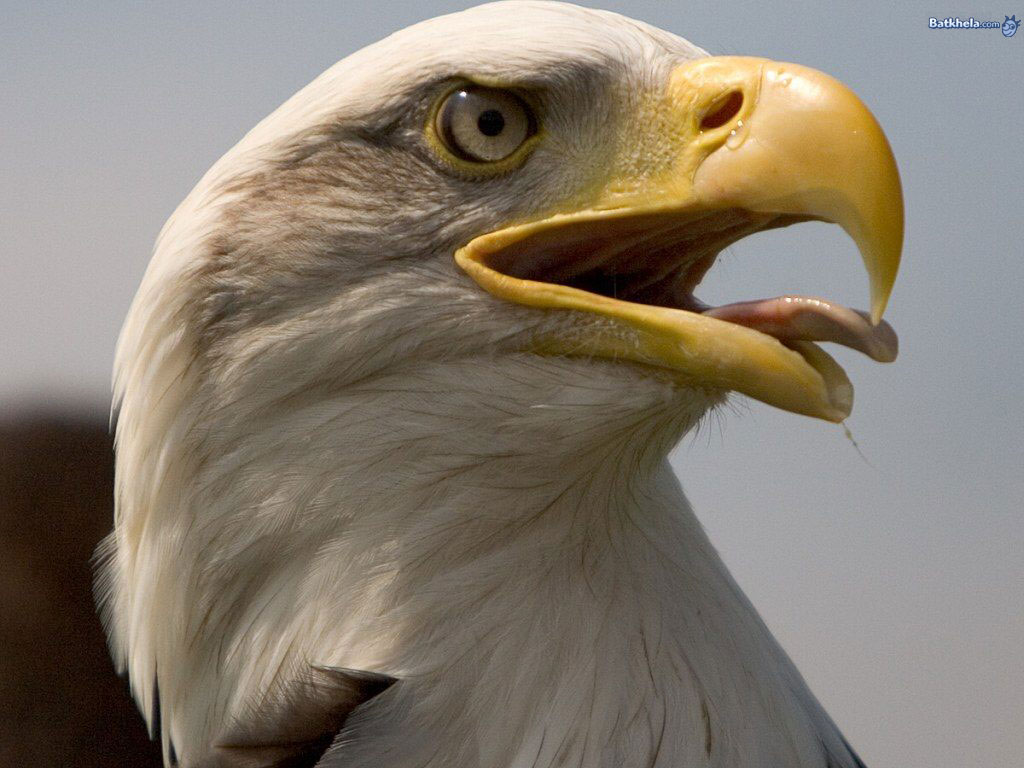 animal bald eagles