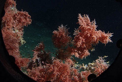 colar reefs, sea cucumber