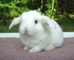 cute white mini lop