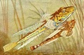 female & Male Mandarinfish - sea-life fan art