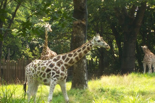 Animals wallpaper entitled giraffe at bronx zoo