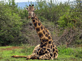 giraffe - the-animal-kingdom wallpaper