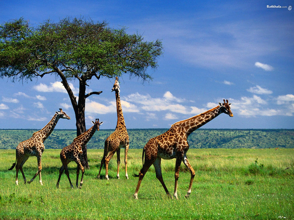 The Animal Kingdom Images Giraffe HD Wallpaper And Background Photos