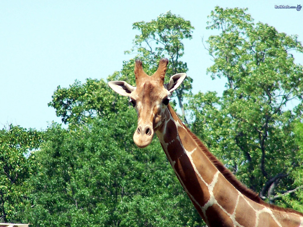 The animal kingdom giraffe