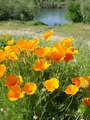 golden poppy - california photo