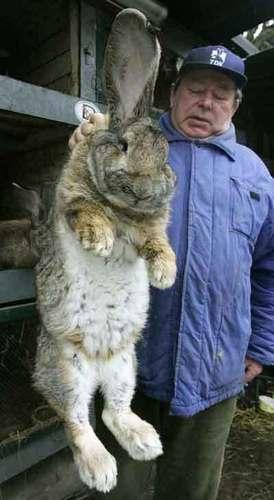 largest rabbit alive
