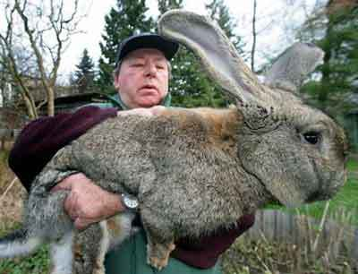 largest rabbit alive - unbelievable Photo