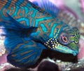 mandarinfish - sea-life photo