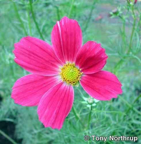 missing 粉, 粉色 petal