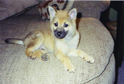 my shiba as a puppy
