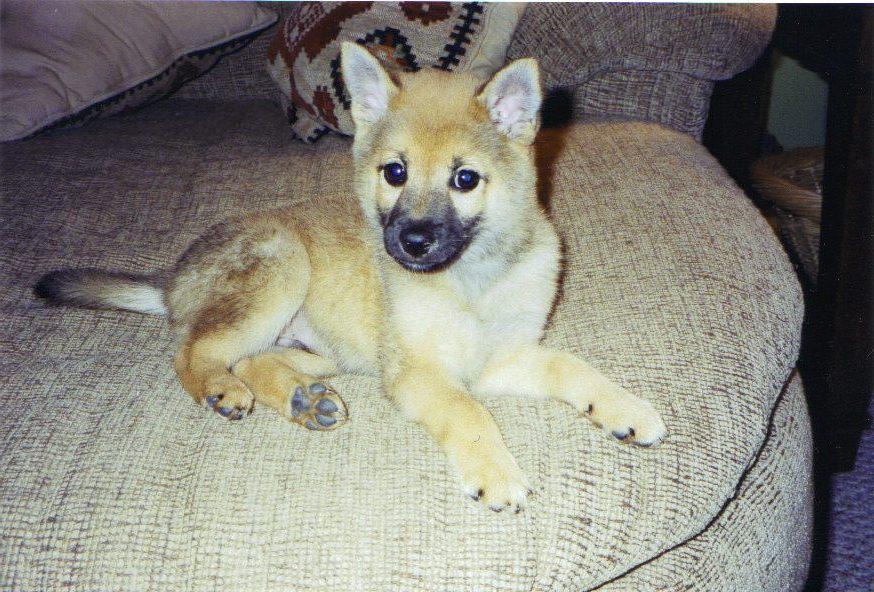 My Shiba As A Anak Anjing Anjing Shiba Inu Foto 530372 Fanpop