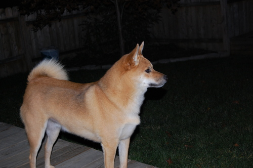 my shiba inu named ours
