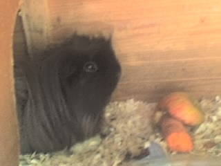 Guinea Pigs wallpaper entitled oblix