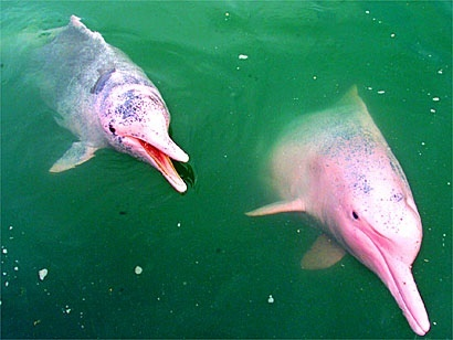 Sea Life wallpaper titled pink dolphins