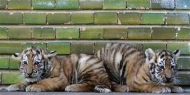 romanian tigri