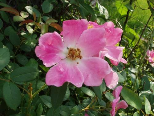 rose بش